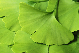 Ginkgo leaf background.
