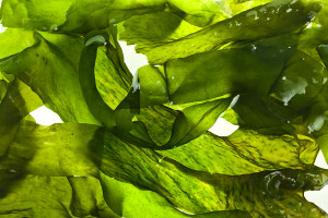 wet seaweed kelp ( laminaria ) surface close up macro shot textu